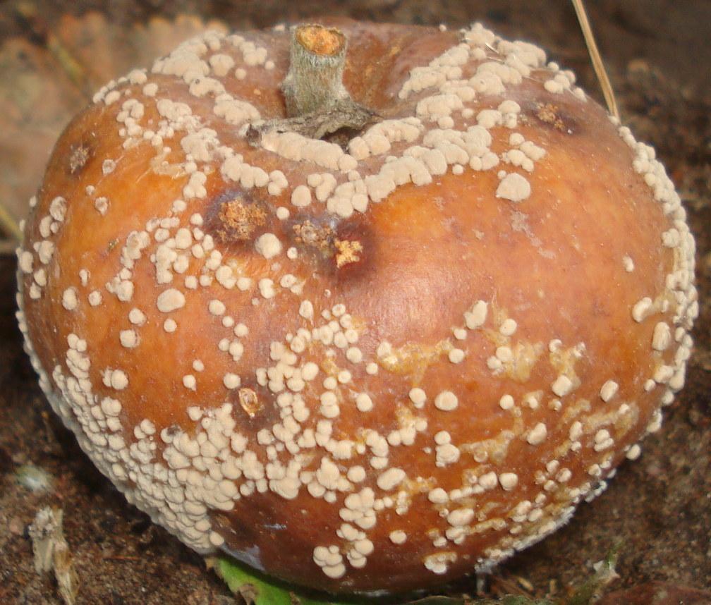 Traitements naturels contre la monilia du fruitier pour les pommes