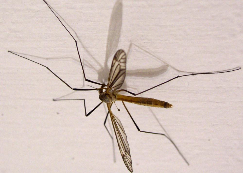 Tipule, cousin du moustique